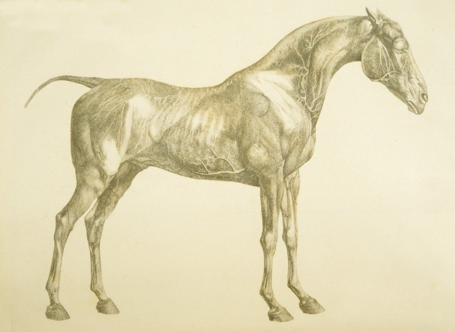 George Stubbs The Anatomy Of The Horse Gallery - human anatomy ...